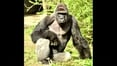 Gorilla killed after boy falls into zoo enclosure