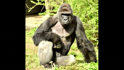 Harambe was born at the Gladys Porter Zoo in Brownsville,Texas, and was moved to the Cincinnati Zoo in 2014