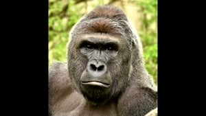 Harambe was shot dead by zookeepers who deemed the boy's life was in danger