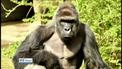 Gorilla killed after dragging boy around enclosure in zoo