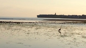 A heron in Lahinch (Mary Comber)