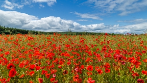 Poppies in Co Laois (Pic: Jim Brennan)