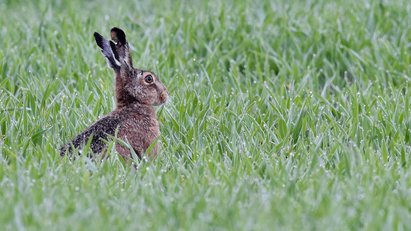 Coursing licences suspended after rabbit disease found