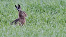 Heather Humphreys said there was no 'current' evidence that coursing has a significant affect on the hare population