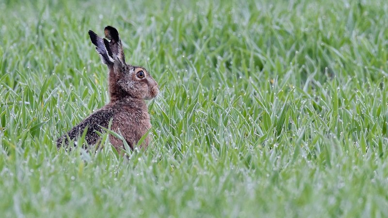 The highly contagious disease does not affect humans, but is fatal to rabbits and hares