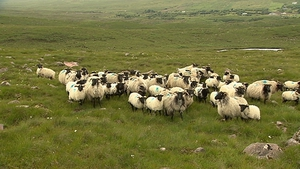 50% of lambs produced in Northern Ireland go south of the border