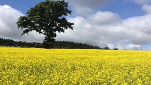 Gerard Hayes' fields of gold in Bray, Co Wicklow