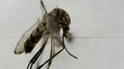 The mosquitos that transmit the infection are now thought to be able to live in colder climates