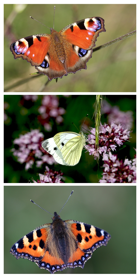 Butterfly monitoring in Co Cork