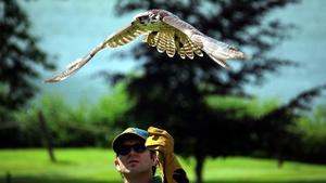 Falcon taking off at Dromoland Castle (Pic: Brendan Gleeson)