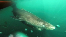 Greenland sharks are slow swimmers and are nearly blind, but are capable hunters