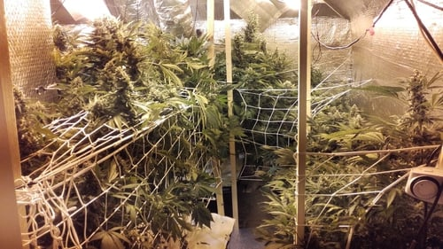 The cannabis plants are worth an estimated €150,000