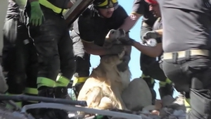 Golden Retriever Romeo was pulled from the ruins of a building in Amatrice yesterday