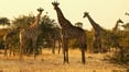 Concern over 'silent extinction' of giraffes
