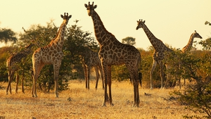 Giraffes on Mashatu game reserve in Botswana