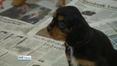Nine News Web: Over 50 'designer' puppies seized at Dublin Port