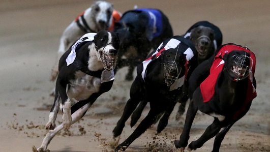 Conflicting attitude in greyhound board towards internal report