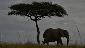 An elephant walks past a tree during the annual wildebeest migration in the Masai Mara game reserve in Kenya