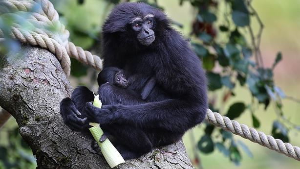 Baby gibbon at Fota Wildlife Park