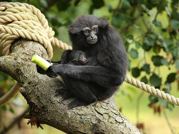Baby agile gibbon at Fota Wildlife Park