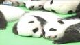 RTÉ News: Panda cubs make public debut