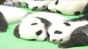 RTÉ News: Panda cubs make public debut