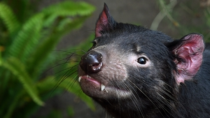 Tasmanian devils carry their young in a pouch after birth to complete their development