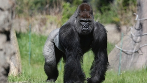 Kumbuka drank 5L of blackcurrant juice during his great escape