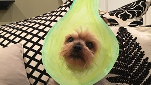 Bindi is a Yorkshire Terrier - she is also an avocado - she does not look impressed! (Pic: Ailbhe Brioscu)