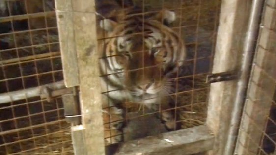 Limerick Girl Gets Two Tigers