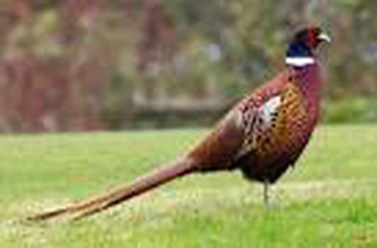Pheasants - Martina McGlynn