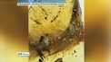 Dinosaur tail discovered preserved in amber