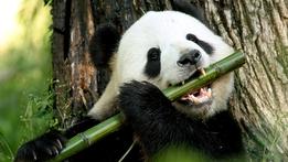 Panda Adventure With Nigel Marven