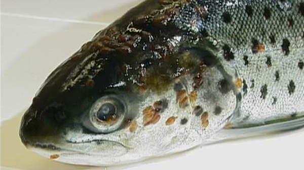 Sea lice can kill sea trout, reduce their weight and affect their migration