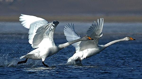 Three of the five cases of bird flu in Ireland have been in whooper swans