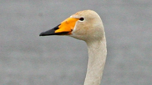 It is the fourth case in a whooper swan this year