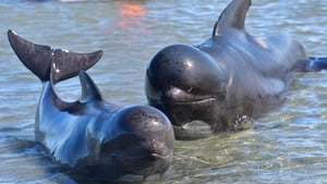The pilot whale stranding is the largest in New Zealand since 1985