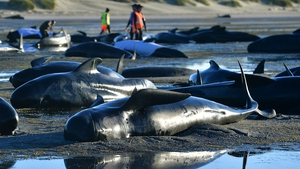 Hundreds of whales were stranded since Friday