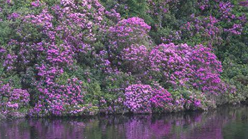 Rhododendron is an invasive species
