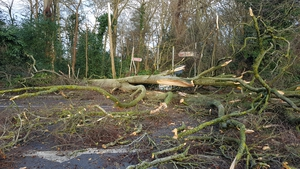 Tree down in Malahide, Co Dublin