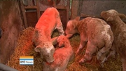 Six One News (Web): Clare farming family celebrating rare birth of quad calves