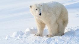 Polar Bear - Spy in the Cold