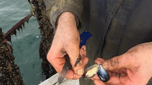 Connemara Seafoods sources its shellfish produce from local suppliers, including on the company's doorstep in Clew Bay