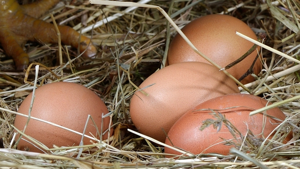 Hens lay eggs with or without the help of a rooster. Butonly those laid after mating are fertilised.
