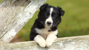 Even at this tender age, the most inquisitive pups can be singled out as potential sheep dogs for farm work.