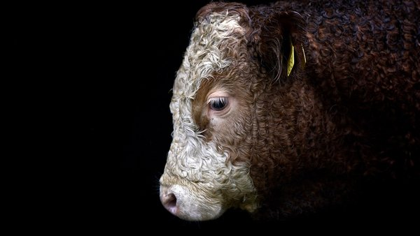 The bull has a vital role to play in keeping cattle numbers high.