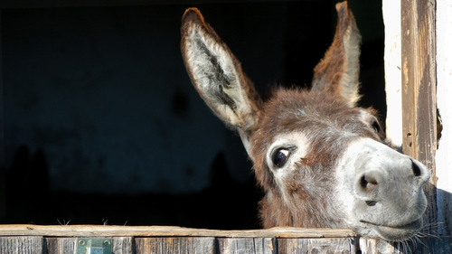 Donkeys have only been in Ireland for a few hundred years.