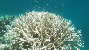Warming oceans have led to bleaching of coral on the Great Barrier Reef
