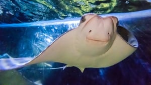 First ever Cownose Stingray born in Ireland