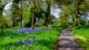 A walk by Bluebells in Loughrea, Co Galway (Pic: Larry Morgan)
